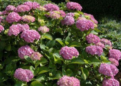 Hydrangea m. 'Bouquet Rose'
