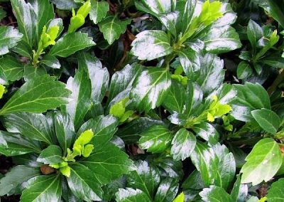 Pachysandra ter. 'Green Sheen'